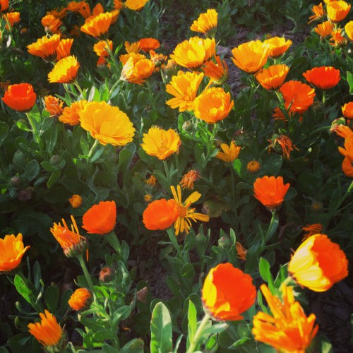 Say Marigold In French